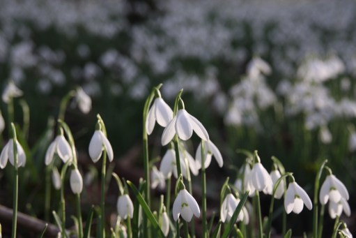Snowdrops: Cherington Lake.