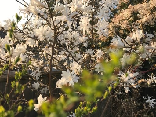 Laurel Cottage: Magnolia Stellata.