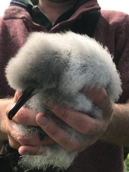 Kenny Birdringer: Shearwater Chick.