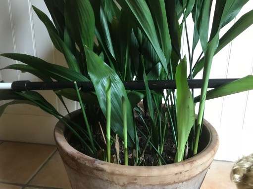 Aspidistra: Will you look at that!