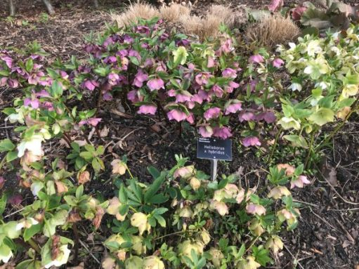 Just Two Hours: Hellebores