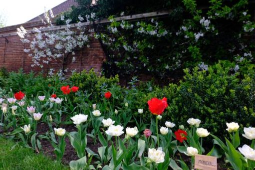 Dunsborough Park Gardens: More Tulips Blooms.