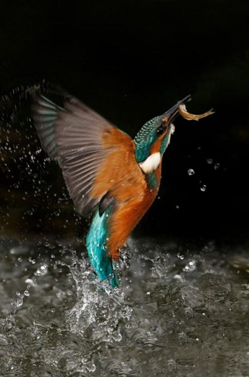 Halcyon Days: Kingfisher.