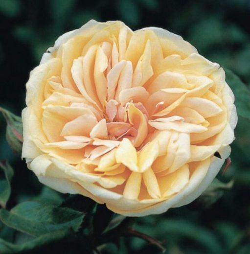 Queen Mary's Rose Garden - Gloire de Dijon