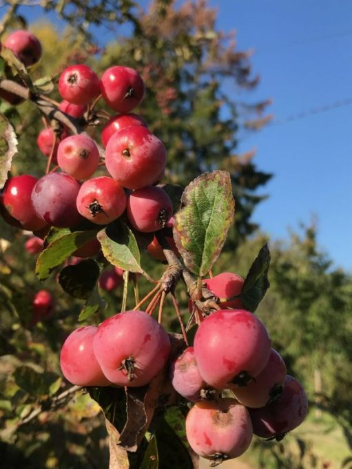 Over the Hills and Far Away: Malus (Crab Apple).