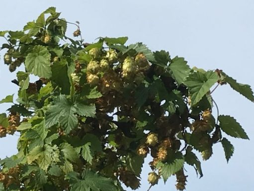 Over the Hills and Far Away: Hops growing wild in a hedge.