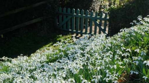 Cotswold Reverie: Snowdrop filled garden.