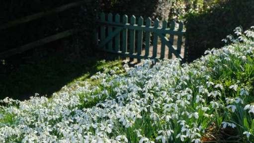 Cotswold Reverie: Snowdrop filled garden.
