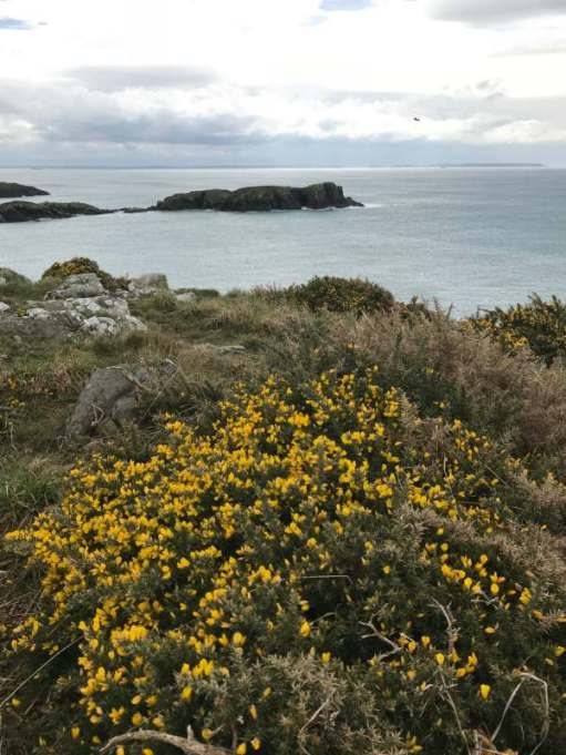 Walk from St David's From April onwards the path becomes a maritime garden. At its best in May and June.