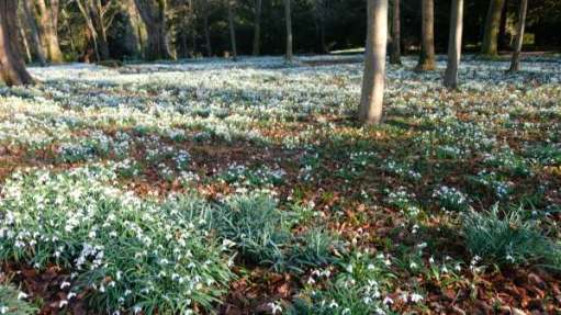 Cotswold Reverie: Snowdrops, Crocuses and trees.