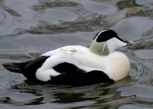 Cotswold Reverie: Eider male.