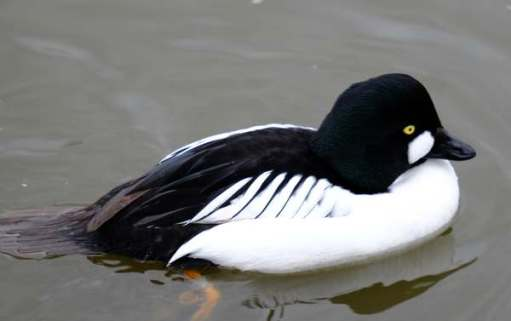 Cotswold Reverie: Goldeneye male.