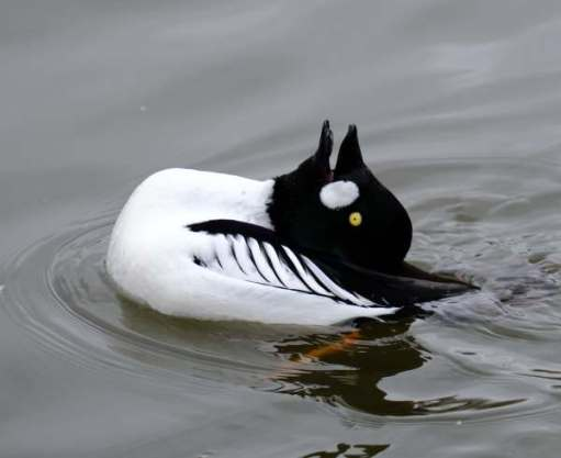 Cotswold Reverie: Goldeneye courtship.
