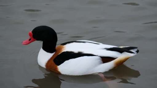 Cotswold Reverie: Shelduck.