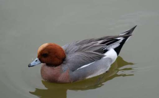 Cotswold Reverie: Widgeon.