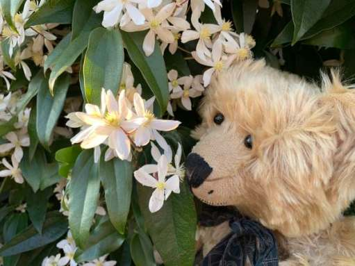 Armandii - We love our favourite Clematis.