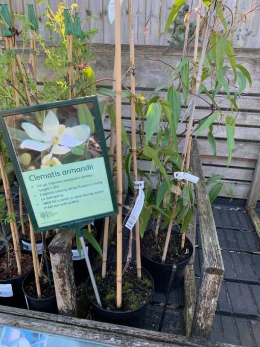 Clematis Armandii For Sale. 4-8 metres? Let's take a closer look.