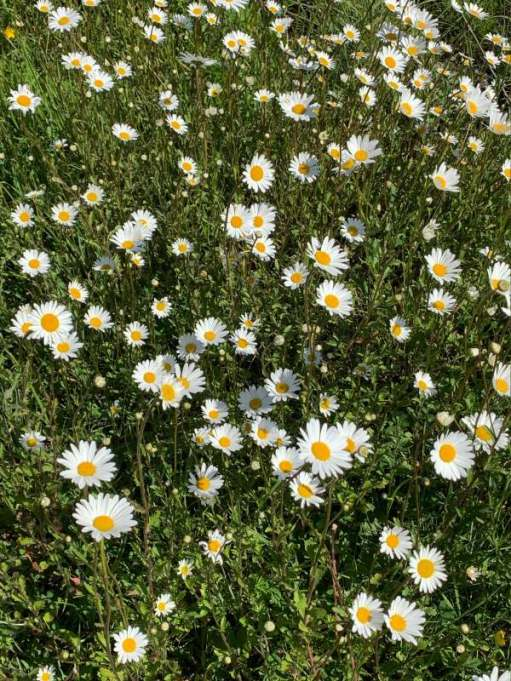 Darling Buds of May: Moon Daisies - Notice the buds of flowers to come.