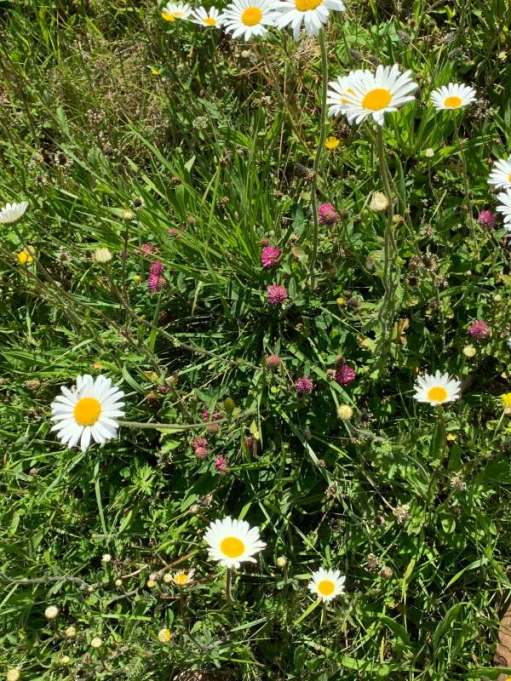 A veritable wildlife haven in the grass verge: Moon Daisies, Buttercups and Clover.