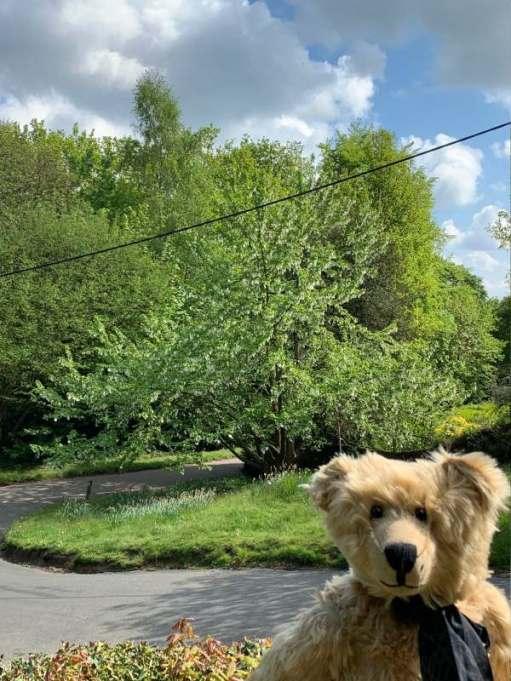 Bertie standing in front of a handkerchief tree.