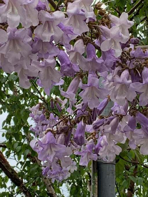 A closer look at the Paulownia.