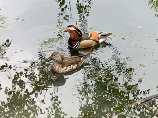 Mr and Mrs Mandarin Ducks.