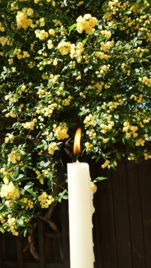 A lit candle against a backdrop of Rosa Banksiae.
