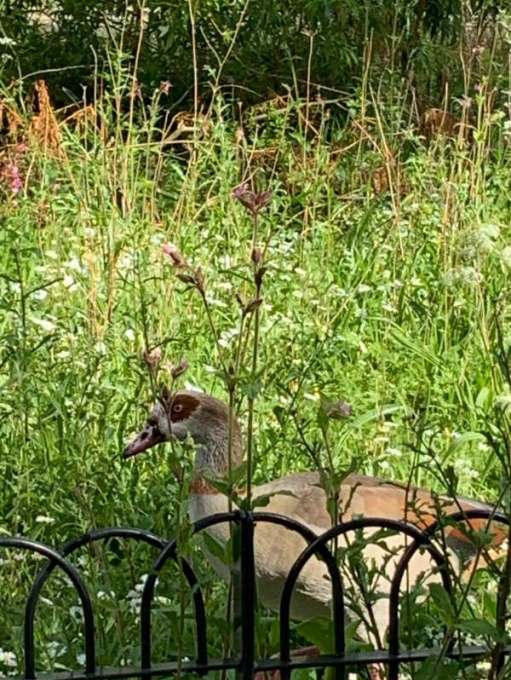 Egyptian Goose behind the railings on the wild flower garden.
