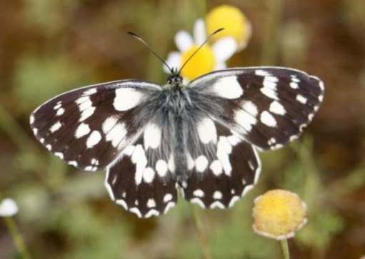 Marbled White Butterfly. Brown wings spread open, with white spots marbling them.