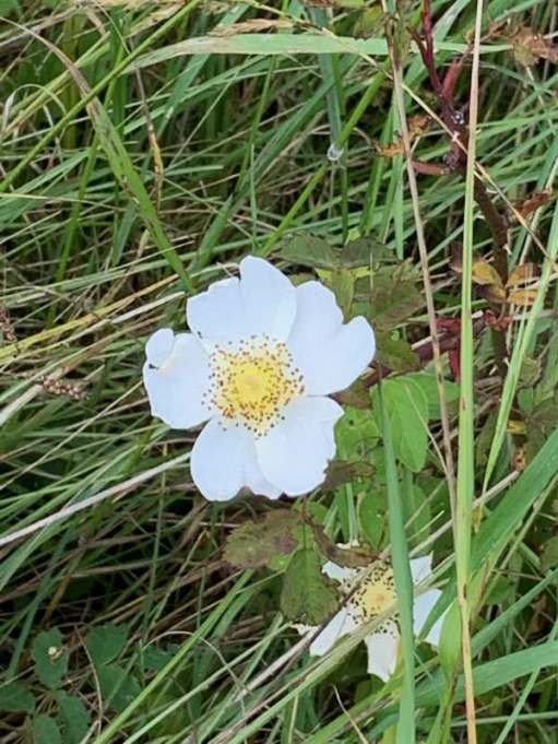 A White, Wild Rose, in amongst the grass.