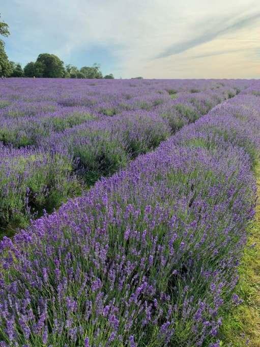 Mayfield Lavender Farm.