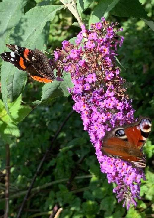 Red Admiral and Peacock butterflies on that one Buddleia bush.