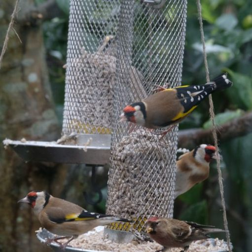 Goldfinches eating from a bird feeder. Redpoll bottom right.
