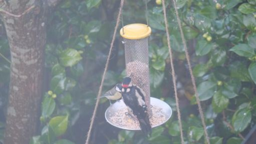Great Tit and Great Spotted Woodpecker eating at the feeder.