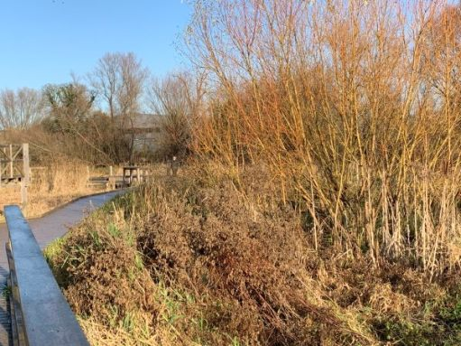 The boardwalk through the reed beds in Morden Hall Park.