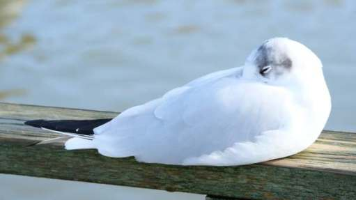 Slimbridge: Black-headed Gull. In winter.
