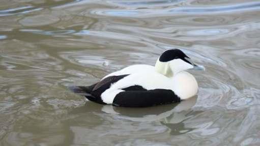 Eider Duck (Male), Slimbridge.
