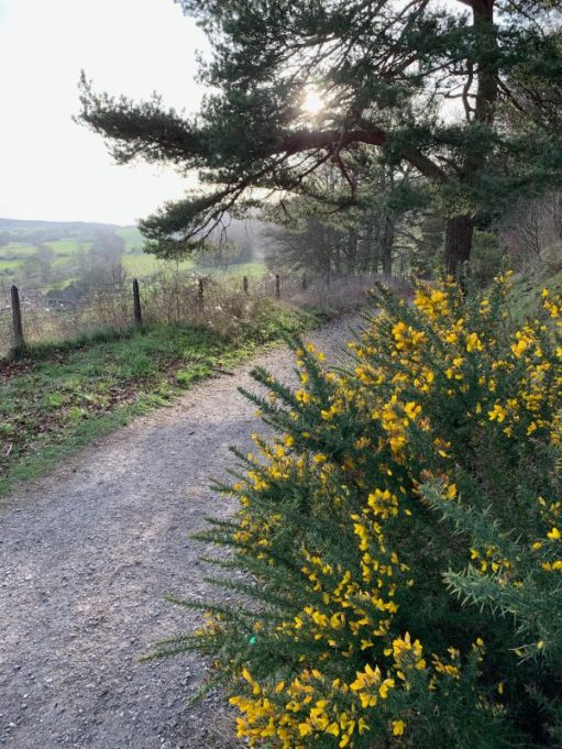 A blazing yellow gorse bush to the right of the path, with open lands to the left.