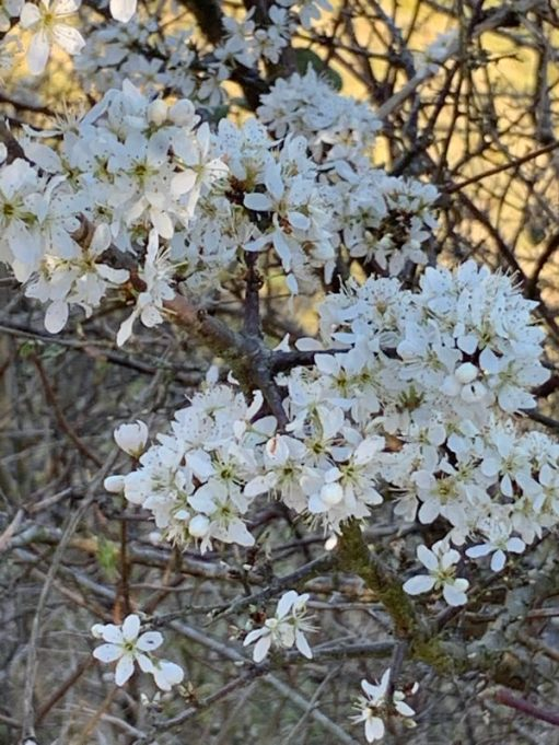 Beautiful Blackthorn in blossom. A mass of delicate white flowers.