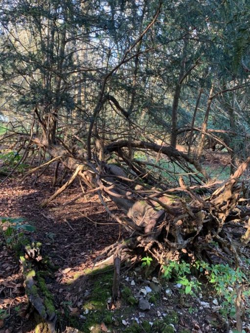 Lots of fallen trees in the woods. Victims of storms in times gone by.