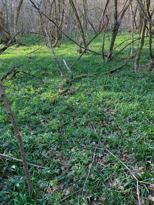 The Bluebell wood. Nothing at the moment, but two, maybe, three weeks time this will be awash with bluebells.