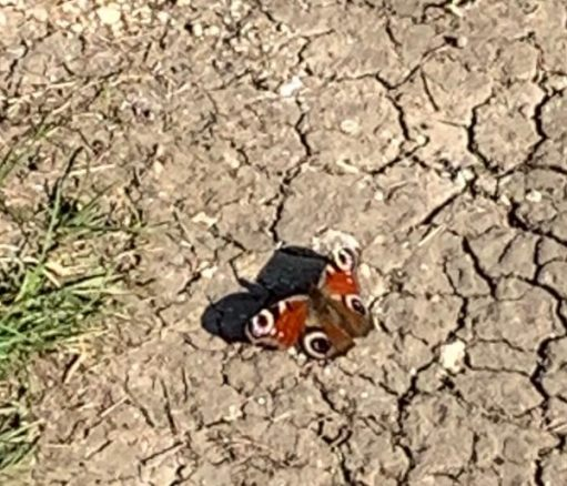 First butterfly of the summer. Peacock (rotten picture)! Lovely butterfly.