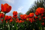 Tulips at Dunsborough Park