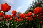 Tulips at Dunsborough Park