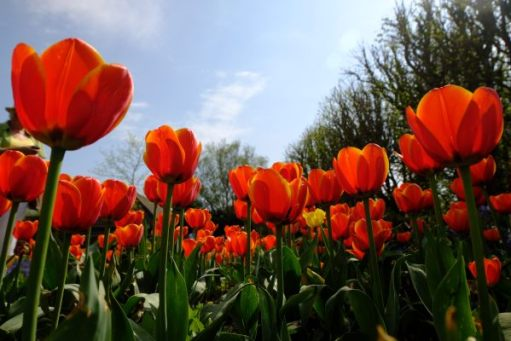 Beautiful red tulips with yellow stripes against a blue sky.