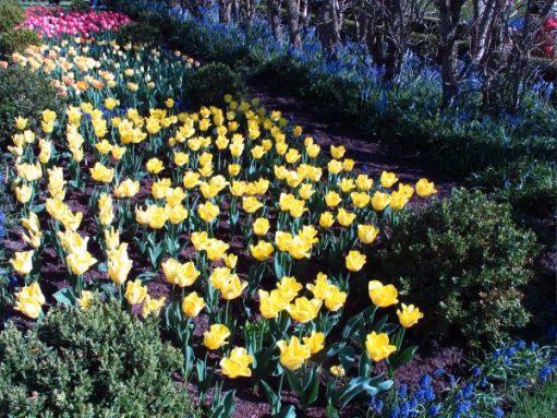 Dunsborough Park Gardens - Yellow Tulips.