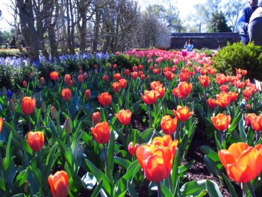 Organised beds of tulips of various colours at Dunsborough Park
