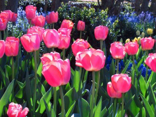 Delicate pink tulips at Dunsborough Park.