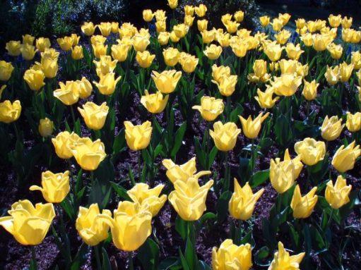 Yellow tulips at Dunsborough Park.