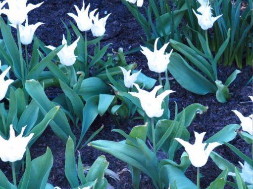 White tulips with long thin petals at Dunsborough Park.